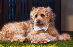 Dog with towel around his neck lying in front of a bowl with pancakes Stock Photos