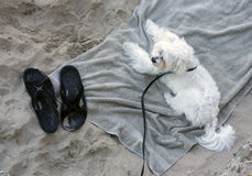 Dog on a towel at the beach Stock Images