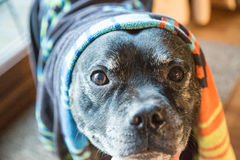 Dog with towel on his head Royalty Free Stock Photo