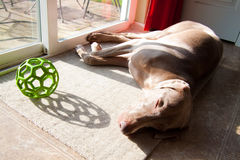 Dog With Toy. A dog lays next to a door with her toy ball Stock Photography