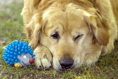 Dog and toy Stock Images