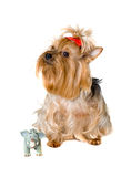 Dog with a toy Stock Photography