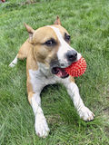 Dog with toy. Big dog with toy in his mouth Royalty Free Stock Photo