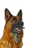 Dog and toy. Original image also in my portfolio Stock Photos