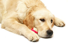 Dog with a toy. Golden retriever with a toy. A dog on a white background Royalty Free Stock Photo
