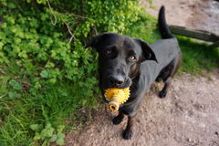 Dog with toy. A black Labrador crossed with an Alsation (German Shephard) playing with a yellow dog toy outside royalty free stock image