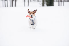 Dog with toy bone running straight at camera on white snow Stock Image