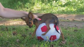 Dog with a toy. A toy is a soccer ball. Legs hang hilariously stock footage