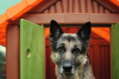 Dog In Toy House Stock Photos