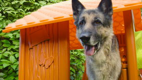 Dog In A Toy House. Shepherd dog standing in the plastic toy house stock video footage