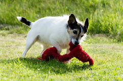 Dog with Toy Royalty Free Stock Images