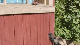 Dog and toy. A dog jumping trying to reach its toy laid on the window stock video footage