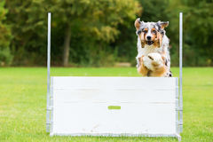 Dog with a toy jumps over an obstacle. Australian Shepherd dog with a toy jumps over an obstacle Royalty Free Stock Images