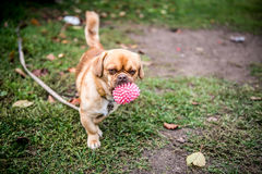 Dog with toy Stock Photos
