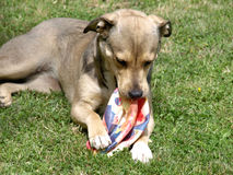 Dog with toy. My beautiful dog with his favorite toy Stock Photos
