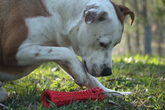 Dog with Toy. Dog with red pet toy Royalty Free Stock Photography