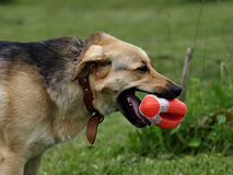 Dog with toy rugby ball Royalty Free Stock Photography