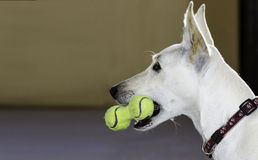 Dog with a toy of tennis balls Royalty Free Stock Images