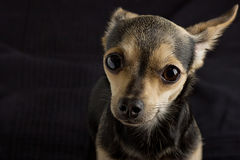 A dog of toy terrier. Asks for food Royalty Free Stock Photo