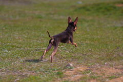 Dog of the toy terrier breed Royalty Free Stock Photography
