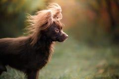 Dog Toy Terrier för en gå i parkera Royaltyfri Fotografi