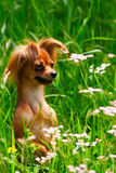 Dog toy terrier in grass Royalty Free Stock Photos