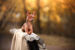 Dog Toy Terrier in nature at the auturm Stock Photos