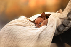 Dog Toy Terrier in nature at the auturm Royalty Free Stock Photos