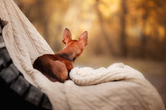 Dog Toy Terrier in nature at the auturm Royalty Free Stock Images