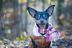A dog, a toy terrier, a stylishly dressed Royalty Free Stock Photo