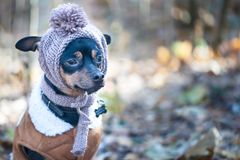 A dog, a toy terrier, a stylishly dressed little dog in a hat an Stock Photo