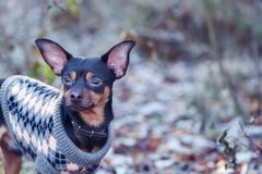 Dog, a toy terrier, a stylishly dressed little dog sweater, agai Stock Images