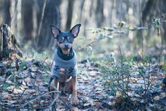 Dog, a toy terrier, a stylishly dressed little dog in a sweater, Stock Images