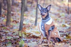 Dog, a toy terrier, a stylishly dressed little dog in a sweater Stock Photo