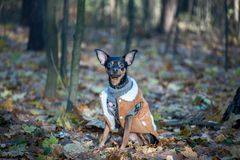 Dog, a toy terrier, a stylishly dressed little dog in a sweater Royalty Free Stock Photos