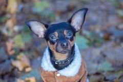 Dog, a toy terrier, a stylishly dressed little dog in a sweater. And a sheepskin coat, against the backdrop of late autumn. Clothes for dogs Royalty Free Stock Images