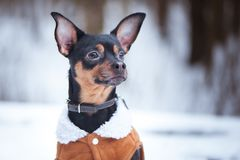 A dog, a toy terrier, a stylishly dressed little dog in sheepski. N coat, against the backdrop of winter. Clothes for dogs. Place for text Royalty Free Stock Images