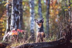 Dog, a toy terrier, a stylishly dressed little dog stock photography