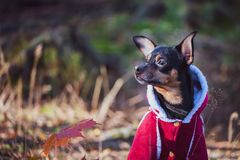 Dog, a toy terrier, a stylishly dressed little dog stock images