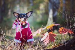 Dog, a toy terrier, a stylishly dressed little dog stock image