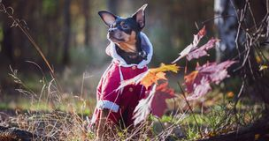 Dog, a toy terrier, a stylishly dressed little dog in a sweater and a sheepskin coat, against the backdrop of late autumn. stock photos