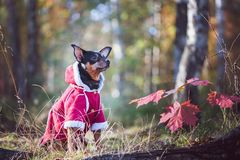 Dog, a toy terrier, a stylishly dressed little dog in a sweater and a sheepskin coat, against the backdrop of late autumn. stock photo