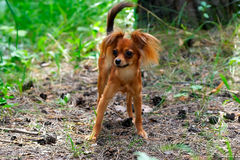 Dog toy terrier walk in green forest Royalty Free Stock Photography
