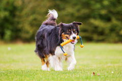 Dog with a toy walks on the meadow royalty free stock photo