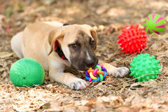 Dog Toys. Is a cute happy adorable puppy playing with his toys outdoors Royalty Free Stock Photos