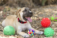Dog Toys. Is a cute happy puppy is outdoors surrounded by his toys Stock Images