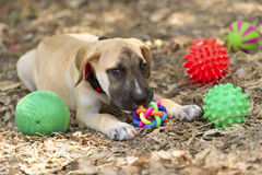 Dog Toys. Is a cute puppy dog playing with his toys nuzzling his most favorite one Royalty Free Stock Image