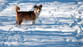 Dog traces in snow. In sunny winter day Stock Photography