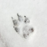 Dog Track, Footprint On Snow Royalty Free Stock Image