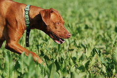 Dog tracking in the field. Livernosed rhodesian ridgeback tracking in the field Stock Photo